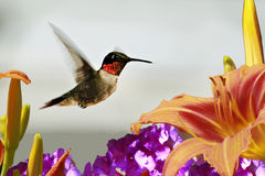 Hummingbird and Lily Royalty Free Stock Photo