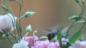 Hummingbird with lisianthus flowers stock video footage