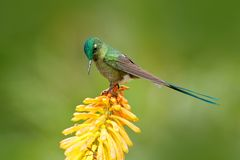 Hummingbird Long-tailed Sylph eating nectar from beautiful yellow strelicia flower in Ecuador. Bird with bloom. Wildlife Ecuador. royalty free stock image