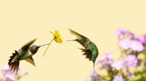 Hummingbird love. A male ruby throated hummingbird surprising a pretty female with a gift of a flower Royalty Free Stock Image