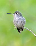 Hummingbird, lucifer female,phoenix,arizona,usa Royalty Free Stock Images