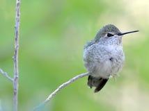 Hummingbird, lucifer kobieta, feniks, Arizona, usa obrazy stock