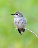 Hummingbird, lucifer kobieta, feniks, Arizona, usa obrazy royalty free