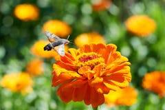 Hummingbird ćma Obrazy Royalty Free