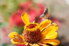 Hummingbird ćma Obrazy Stock