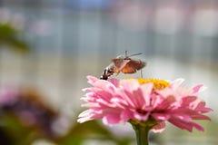Hummingbird ćma Zdjęcia Royalty Free