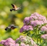 Hummingbird ćma Obraz Royalty Free