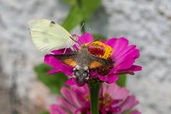 Hummingbird ćma Macroglossum stellatarum Whi i kapusta zdjęcia royalty free