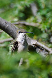 Hummingbird Making Eye Contact Stock Images