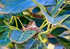 Hummingbird mother nest baby. Hummingbird Mama sits incubating her baby egg in nest in avocado tree stock image