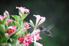 Hummingbird in mandevilla flowers Stock Images