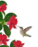 Hummingbird At Mandevilla Flowers Royalty Free Stock Images