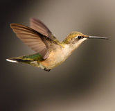 Hummingbird #1 Royalty Free Stock Photography