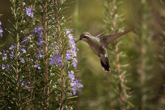 Hummingbird meal. A little hummingbird chasing its meal Royalty Free Stock Photos