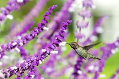 Hummingbird in Mexican sage flowers. One ruby throated hummingbird in flight hovering in purple Mexican Sage flower bushes. It is by far the most common royalty free stock photography