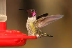 Hummingbird miotania plecy skrzydła zdjęcie royalty free