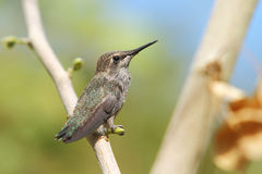 Hummingbird moments after leaving the nest Stock Photos