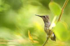 Hummingbird moments after leaving the nest Stock Image