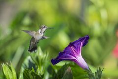 Hummingbird in the Morning Glory stock photography