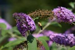 Hummingbird moth. Feeding on a butterfly bush Stock Photo