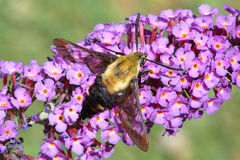Hummingbird Moth. Snowberry Clearwing (a.k.a. Sphinx Moth or Hummingbird Moth) on a butterfly bush flower Stock Image