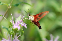 Hummingbird Moth. A hummingbird moth, Hemaris thysbe, hovers in the air as it drinks nectar from a wild bergamot flower Royalty Free Stock Images
