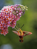 Hummingbird Moth. Hovering at butterfly bush stock photo