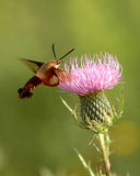 Hummingbird Moth Royalty Free Stock Image