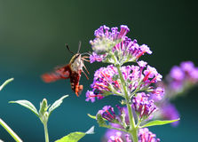 Hummingbird Moth. Hummingbird (Common Clearwing) Moth gathering nectar from a Butterfly Bush Stock Photos