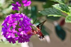 Hummingbird Moth. Feeding on Verbena stock images