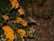 Hummingbird Moth Royalty Free Stock Photography