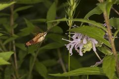 Hummingbird moth with coiled proboscis hovering near a flower. Hummingbird moth, Hemaris thysbe Sphingidae, foraging for nectar at a purple bergamot flower Royalty Free Stock Image
