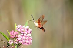 Hummingbird Moth Collecting Nectar. Hummingbird clearwing moth collecting nectar from milkweed Royalty Free Stock Photography
