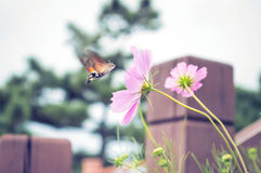 Hummingbird moth with cosmos flower Royalty Free Stock Image