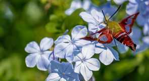 Hummingbird Moth. The hummingbird moth is an enchanting insect. They look like small hummingbirds but they are nectar feeders royalty free stock images