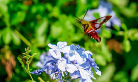 Hummingbird Moth. The hummingbird moth is an enchanting insect. They look like small hummingbirds but they are nectar feeders Royalty Free Stock Image