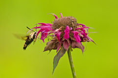 Hummingbird Moth feeding on Bee-Balm Flowers. Royalty Free Stock Image