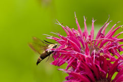 Hummingbird Moth feeding on Bee-Balm Flowers. Royalty Free Stock Photos