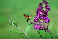 Clearwing Hummingbird Moth feeding on Butterfly bush flower. Hummingbird clearwing Moth (Hemaris thysbe) feeding on Butterfly bush Royalty Free Stock Image