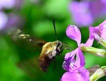 Hummingbird moth Royalty Free Stock Image