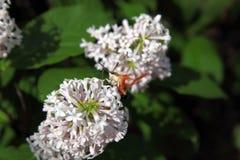 Hummingbird Moth Feeding Royalty Free Stock Image