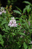 Hummingbird Moth Feeding Royalty Free Stock Images