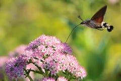 Hummingbird moth. The hummingbird moth is feeding nectar.Scientific name: Macroglossum stellatarum royalty free stock image