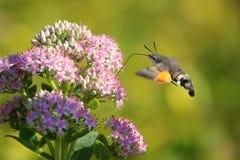 Hummingbird moth. The hummingbird moth is feeding nectar. Scientific name: Macroglossum stellatarum royalty free stock image