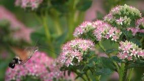 Hummingbird moth stock video