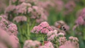 Hummingbird moth stock video footage