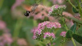 Hummingbird moth stock footage