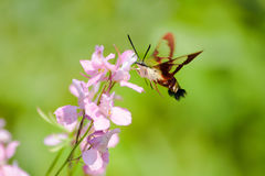Hummingbird moth feeding on pink larkspur wildflower. Hummingbird clearwing moth, Hemaris thysbe, feeds from a pink larkspur wildflower on a bokeh green Royalty Free Stock Images