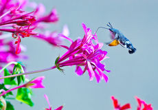 Hummingbird moth Stock Images