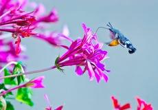 Hummingbird moth Stock Images